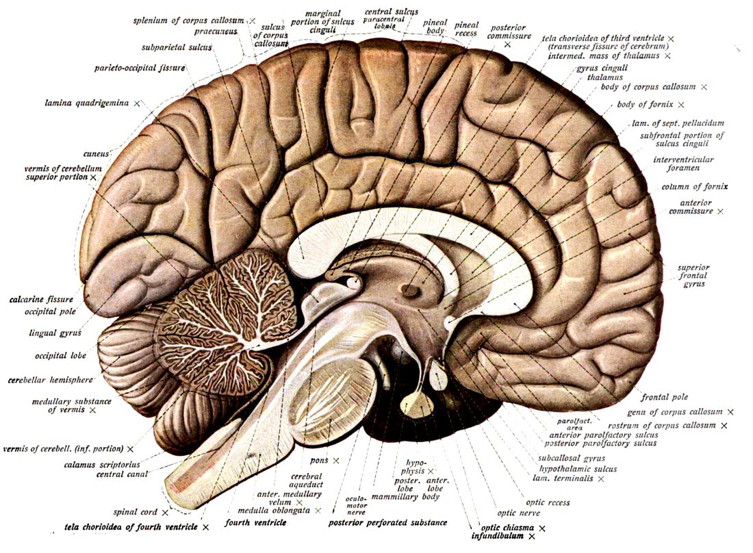 Brain Human Gross Anatomy Medicalanatomybrainbrain3