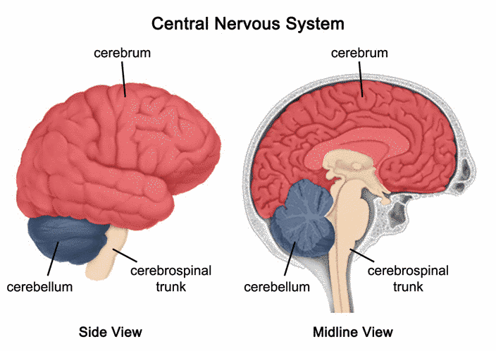 Red Brain Nervous System Diagram - DIY Enthusiasts Wiring Diagrams •