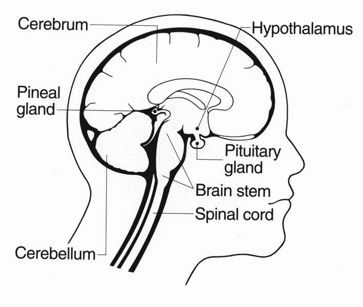 Brain diagram 1 medicalanatomybrainbraindiagram1gml brain diagram 1 ccuart Image collections