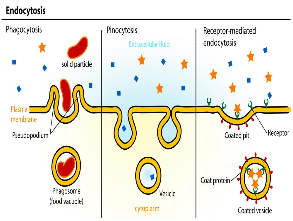 Endocytosis Vs Exocytosis Venn Diagram Selol Ink