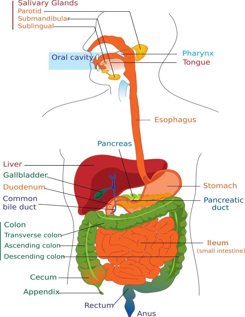 Digestive system diagram page medicalanatomydigestive digestive system diagram page available formats to download download ccuart Image collections