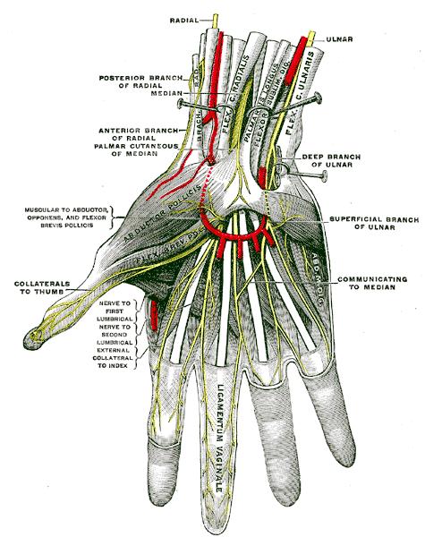 hand_nerves_diagram_1 hand nerves diagram 1 medical anatomy hand hand_nerves_diagram_1