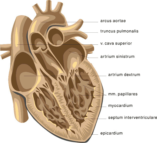 heart_medical_diagram_2 heart medical diagram 2 medical anatomy heart medical diagram at panicattacktreatment.co