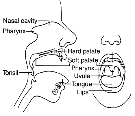 Mouth Diagram Medicalanatomymouthandthroatmouthdiagramgml