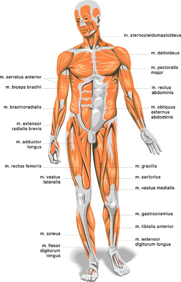 anatomy body muscles - /medical/anatomy/muscle, Muscles
