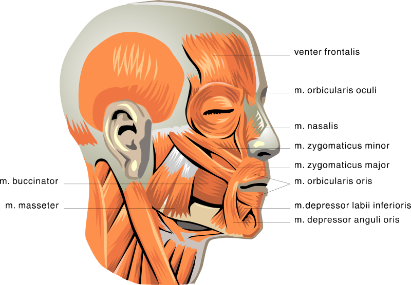 Anatomy Face Muscles Medicalanatomymuscleanatomyfacemuscles