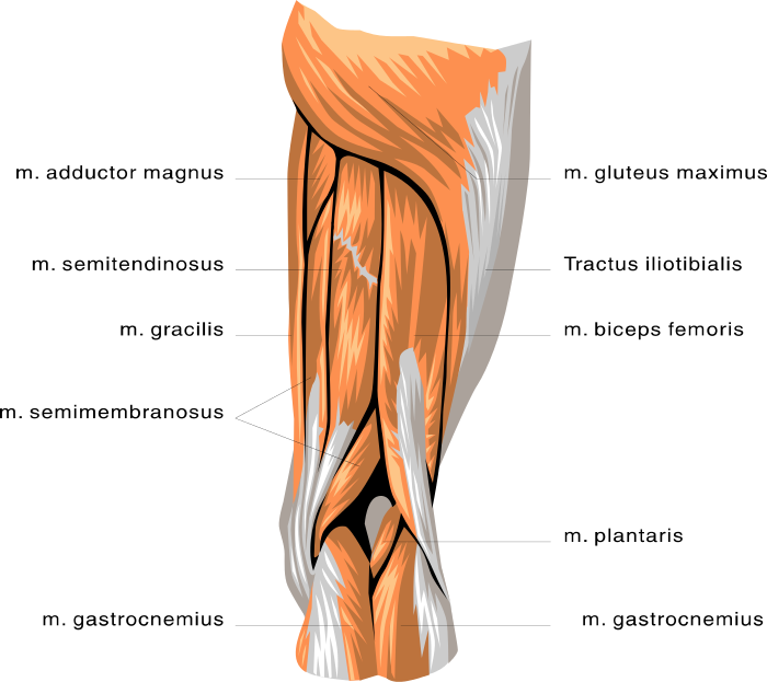 anatomy leg muscles - /medical/anatomy/muscle/anatomy_leg_muscles ...