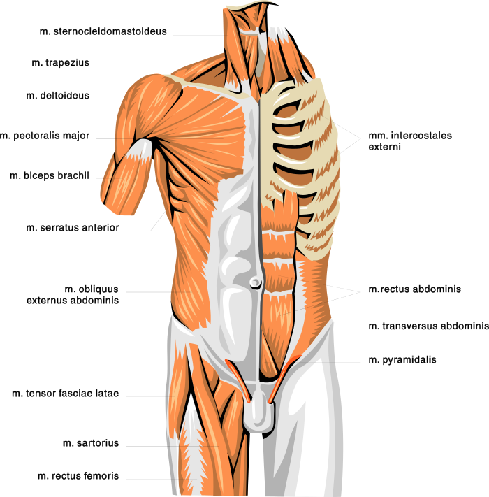 anatomy muscles 2 - /medical/anatomy/muscle/anatomy_muscles_2.png.html