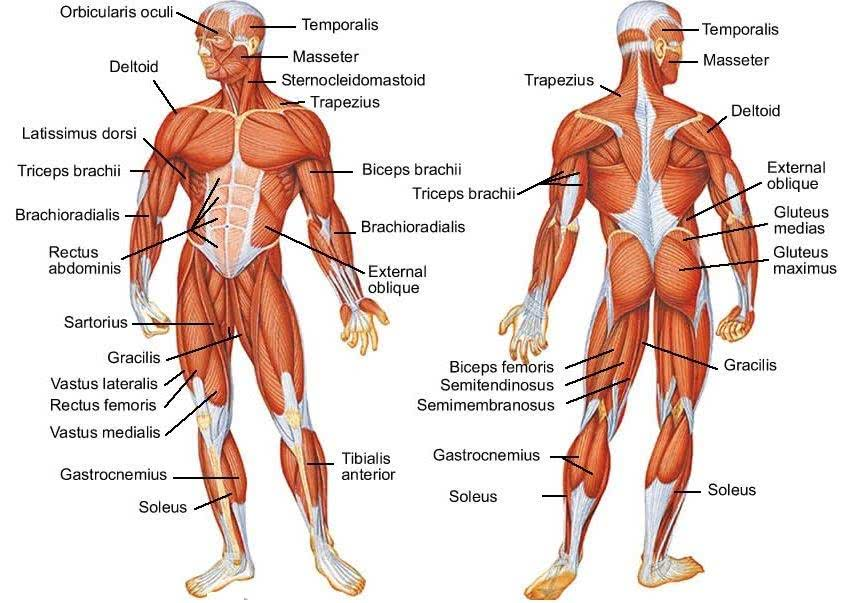 human muscle diagram - /medical/anatomy/muscle, Human Body