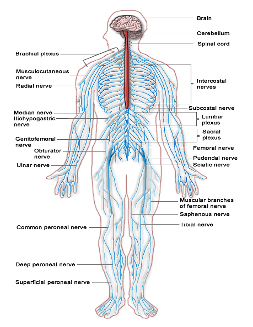 Nervous System Diagram Medicalanatomynervoussystem