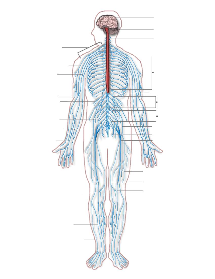 Nervous System Diagram Blank Medicalanatomynervoussystem