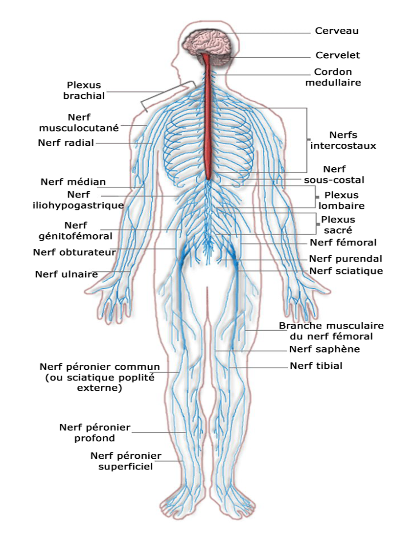 Hermosto further Nervous system besides Mousediagram additionally Nervous system diagram french likewise 6132192. on cns diagram