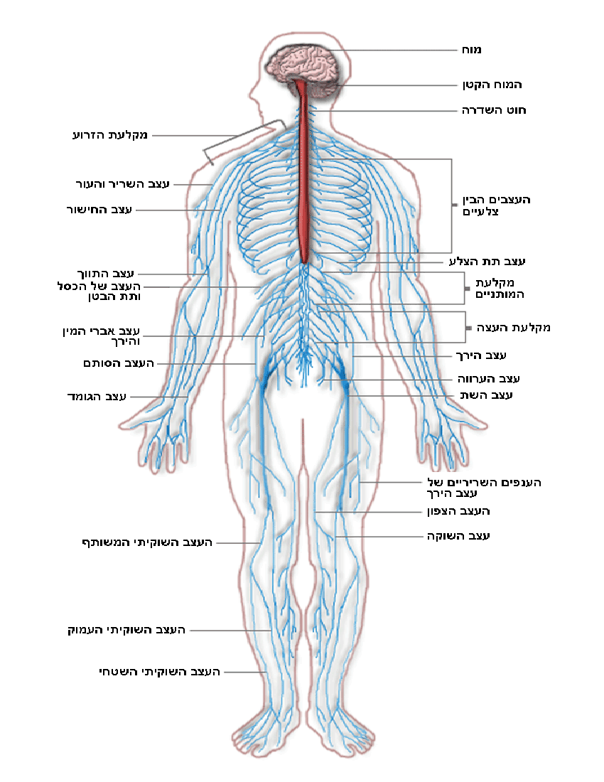 Nervous System Diagram Hebrew Medicalanatomynervoussystem