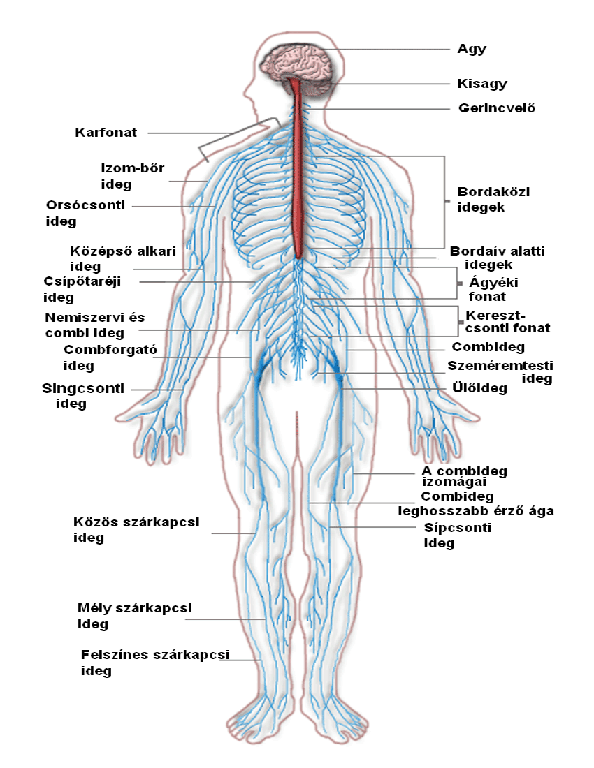 nervous system diagram hungary - /medical/anatomy/nervous_system