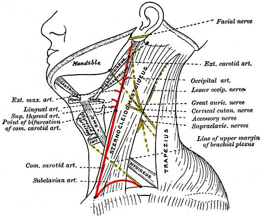 neck nerves - /medical/anatomy/nervous_system/neck_nerves.png.html