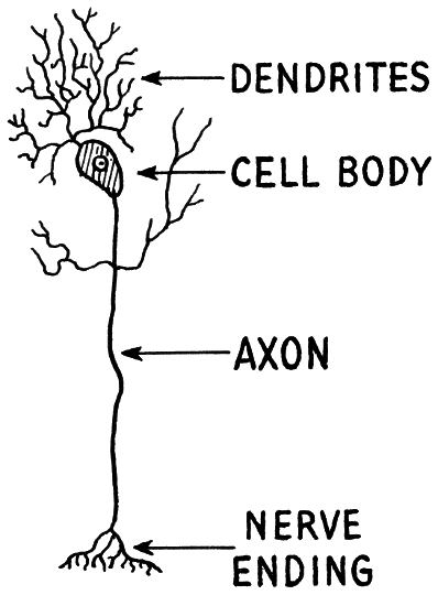 Nerve Diagram Dendrite Axon Medicalanatomynervoussystemneuron
