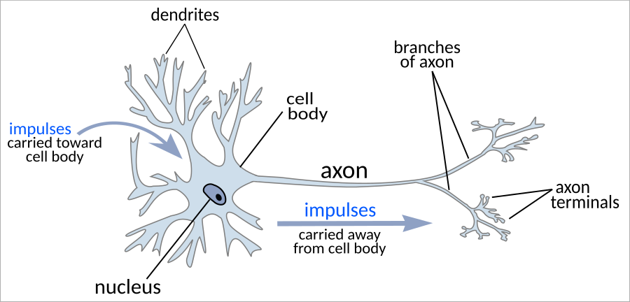 neuron - /medical/anatomy/nervous_system/neuron/neuron.png.html