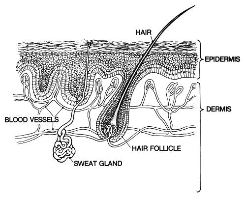 skin epidermis - /medical/anatomy/skin/skin_epidermis.png.html