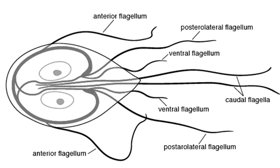 Giardia Diagram | www.pixshark.com - Images Galleries With ...
