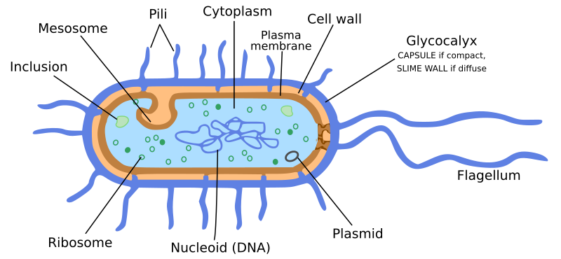 Pleasing Bacteria Cell Diagram Medical Microscopic Bacteria Wiring Digital Resources Bemuashebarightsorg