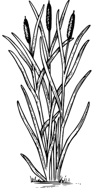 cattail   plants  assorted  c  cattail png html cattail clip art free stencils cattail clipart free