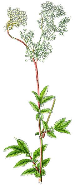 filipendula ulmaria meadowsweet   plants  assorted  f clip art plant tags clip art plant tags