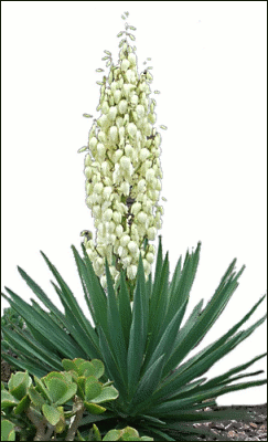 Yucca Flowering Plants Assorted Y Yucca Flowering Png Html