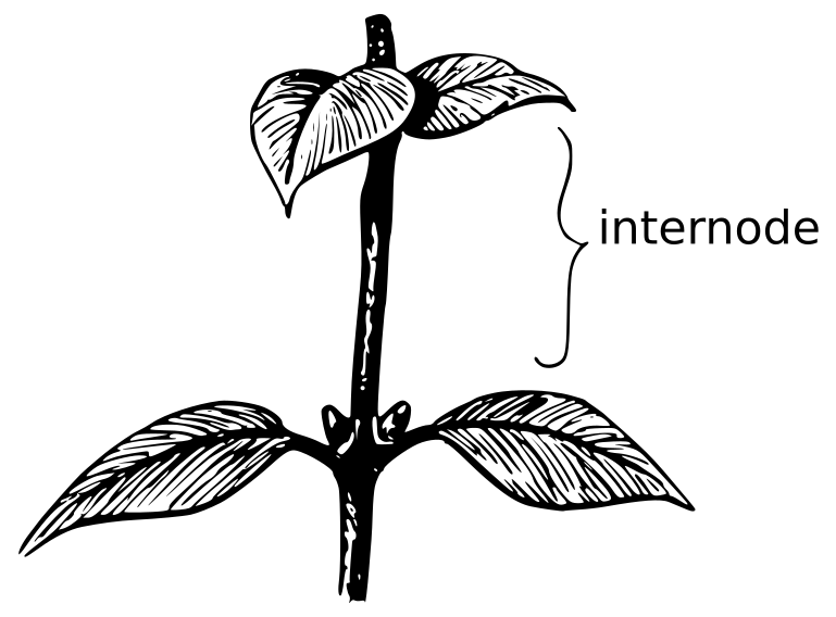 Internode Plants Diagrams Plant Parts