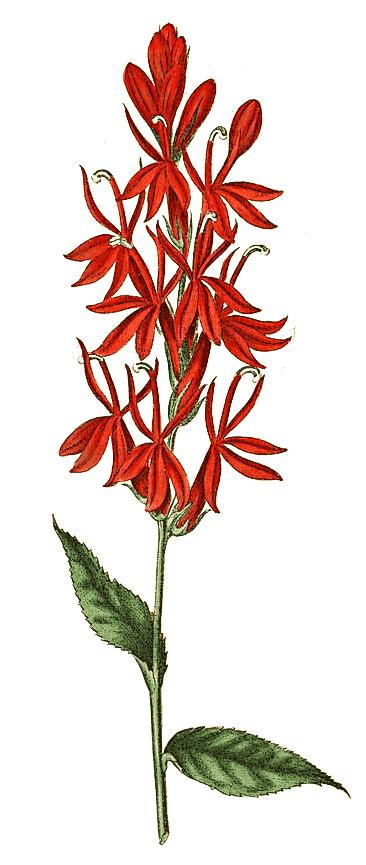 0 - JUEGO SIGUE LA IMAGEN  II - Página 109 Cardinal_flower
