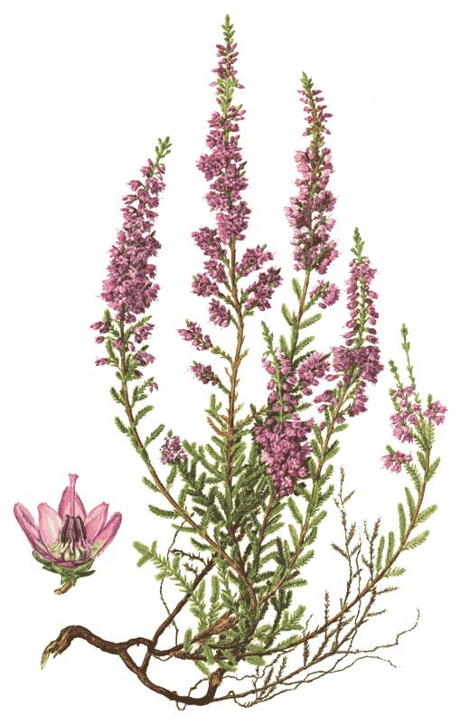 Calluna Vulgaris common calluna vulgaris plants flowers h
