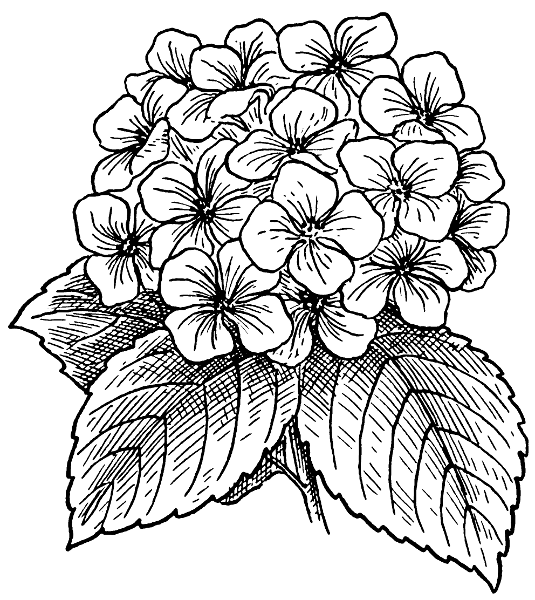 hydrangea bw   plants  flowers   h  hydrangea bw png html hydrangea clip art b&w hydrangea clip art black and white