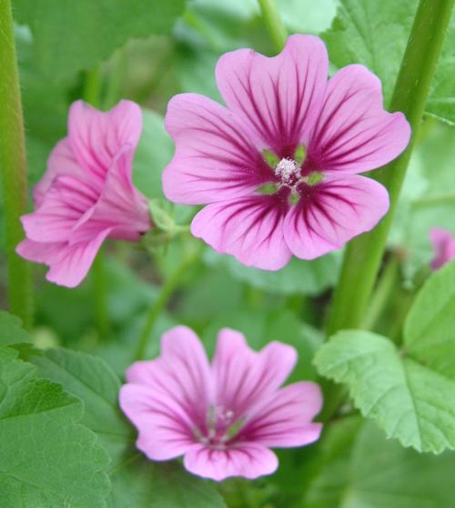 malva   plants  flowers   m  malva png html clip art planets solar system clip art planets solar system