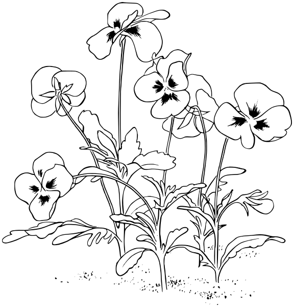 Line Drawing Violet : Pansies lineart plants flowers p pansy
