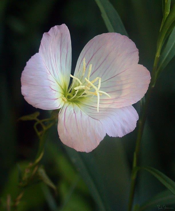 showy evening primrose oenothera speciosa   plants clipart plants flowers clip art planets