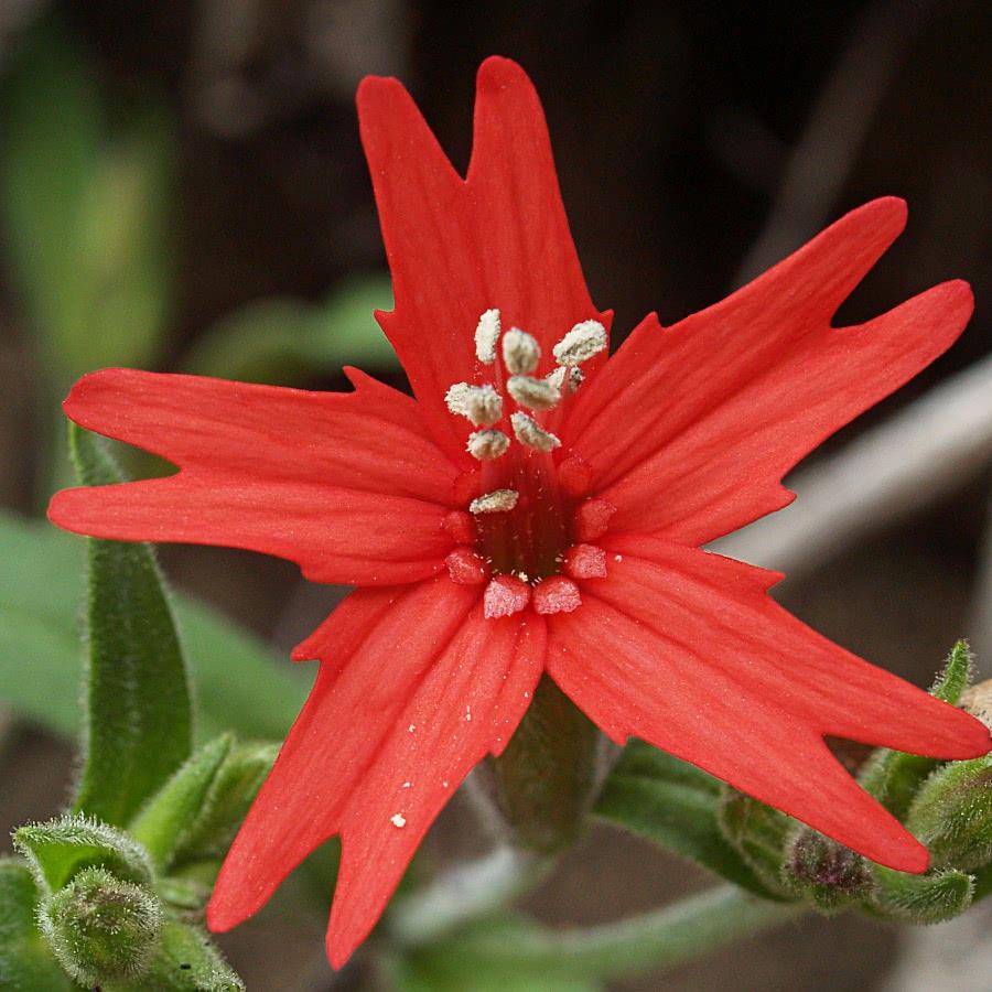 Fire Pink Blossom Plantsflowersssilenecatchfly