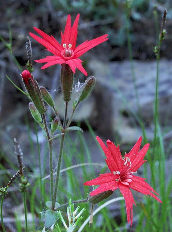 Fire Pink Roadside Plantsflowersssilenecatchfly